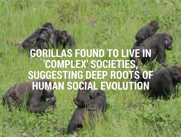Text Over Media section from Gorillas Found To Live In 'Complex' Societies, by the University of Cambridge